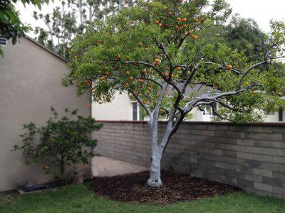 Fruit Tree Care 2
