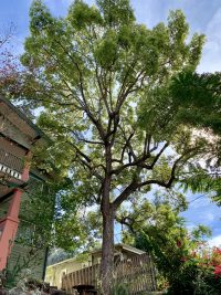 los angeles arborist big tree
