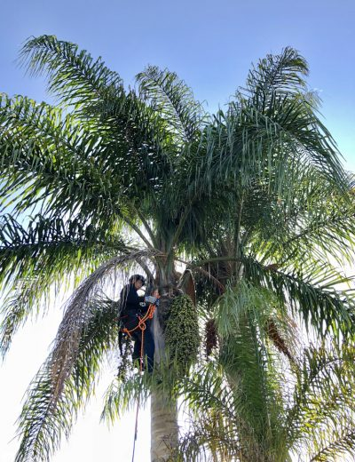 Palm Pruning 6