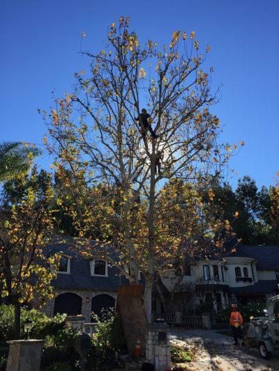 Pruning 17
