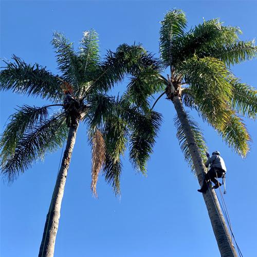Palm Pruning 4