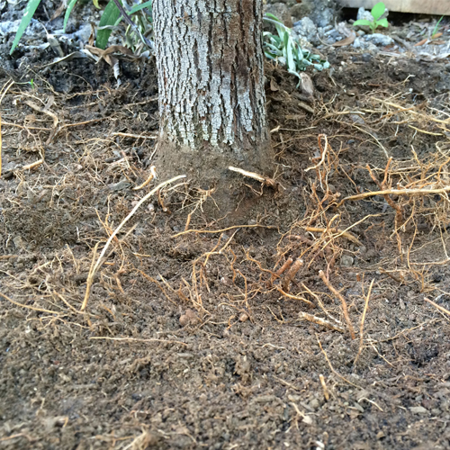 Root Crown Excavation 6