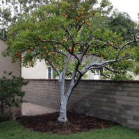 Fruit Tree Care 4